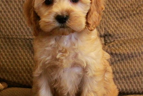 Puppies For Sale Cockapoo Puppies Cute Baby Animals Puppies