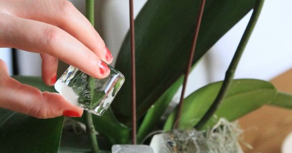 Orchid care and love. Pinning this because this is where orchids experience
