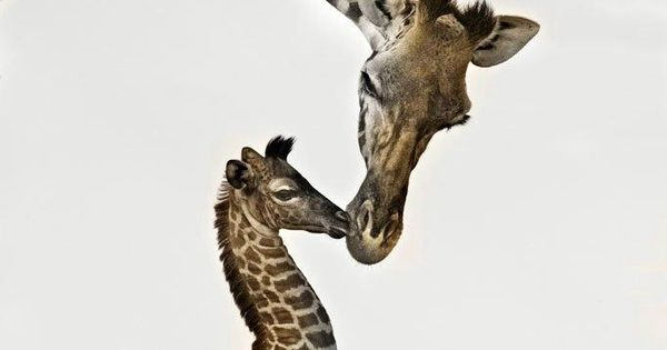 Giraffe Kisses. Photo by Comic Book Guy