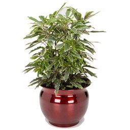 Gold Crest False Aralia House Plant Care Plants House Plants