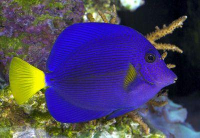 Purple Tang Yellowtail Sailfin Tang Zebrasoma Xanthurum Tropical Fish Tropical Fish Aquarium Tang Fish