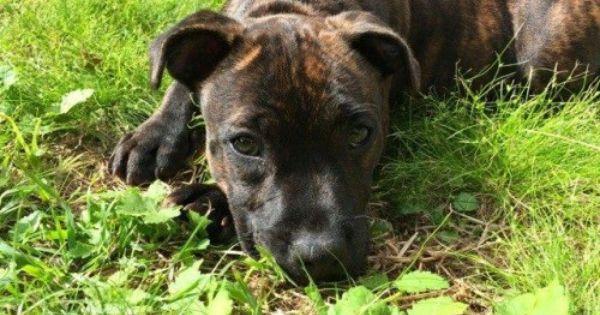 Reunited Puppy Brindle Staffy Belfield Sydney Nsw 2191 Brindle Staffy Brindle Losing A Dog