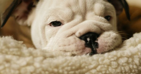 Little wrinkled face ... #english #bulldog #englishbulldog #bulldogs #breed #dogs #pets #animals #dog #canine #pooch #bully #doggy #puppy #cute | See more about Bulldogs, English Bulldogs and Faces.