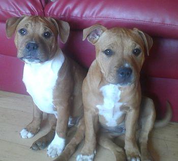 Staffordshire Bull Terrier Puppies Pitbull Terrier