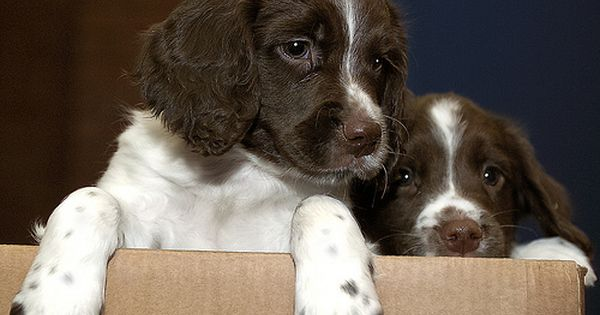 Fresh Out Of The Box In 2004 English Springer Spaniel Springer Spaniel Puppies Springer Spaniel