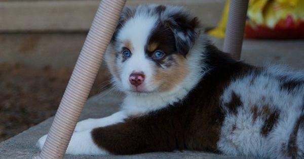 Litter Of 5 Miniature Australian Shepherd Puppies For Sale In