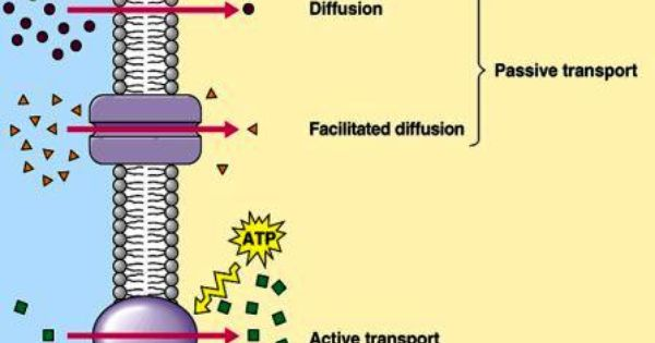Membrane Transport The Transportation Mechanism Into The Cell