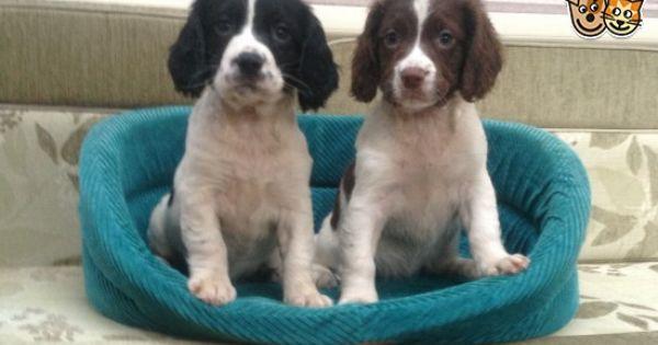 English Springer Spaniel Puppies For Sale Springer Spaniel