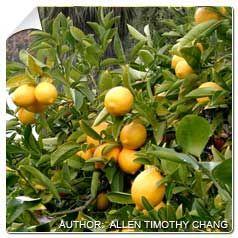 Citronnier Des 4 Saisons Arbre Fruitier Agrumes Citronnier