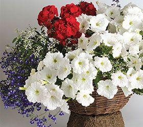 Easy Wave White Petunia Geranium Lobelia And Euphorbia An