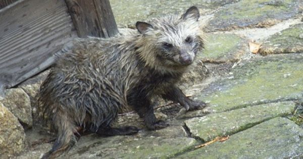 Raccoon Dogs Skinned Alive To Make Ugg Boots Humane Society International Tying The Famous Australian Ugg Boot Company To The H Dog Skin Raccoon Dog Animals