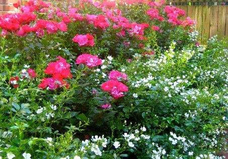 Knockout Roses With An Underplanting Of Snocones Roses