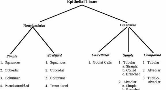 epithelial tissue coloring page - epithelial tissue a p 1 overview pinterest