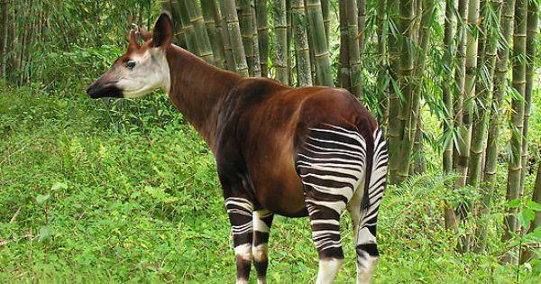 Okapi - half zebra, half giraffe, and a huge tongue ...