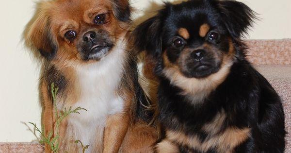 Romance Tibetan Spaniel Cz Tibetan Spaniel Cute Animals Dogs And Puppies