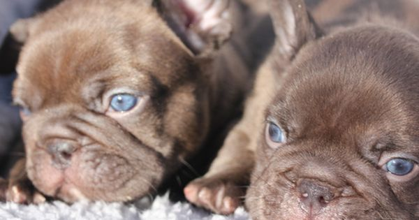 Litter Of 6 French Bulldog Puppies For Sale In Seattle Wa Adn 22520 On Puppyfinder Com Gend French Bulldog Blue Brindle French Bulldog French Bulldog Puppies