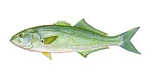Coastal Carolina Guide Service List Of Nc Fish Species Including Nc Fish State Record And Nc Fish Citation Sizes Fish Sea Creatures Art Outer Banks