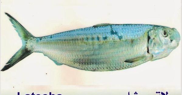 تعريف اسماء الاسماك بدلجة المغربية و الفرنسية البحار المغربي Fish Pet Fish Pets
