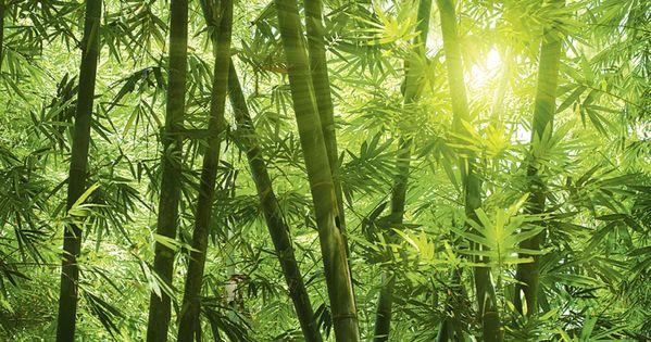 Szefei Asiatischer Bambuswald In Der Morgensonne Glasbild Artgalerie Bildershop In 2020 Fototapete Tapeten Bambus Tapete