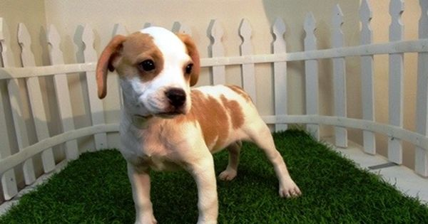 Frengle French Bulldog X Beagle Mix Info Temperament Puppies Pictures Puppies Dog Pictures Hybrid Dogs