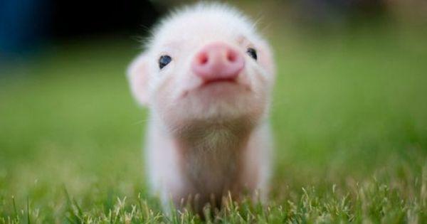 teacup pig piglet piggy