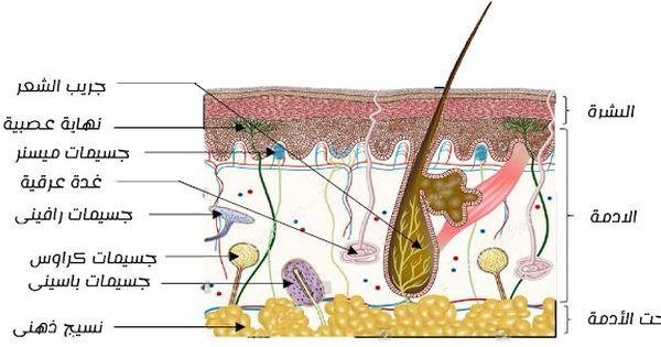 رسم تخطيطي لبنية الجلد و المستقبلات الحسية مع البيانات جاهز للطباعة Blog Posts Blog Post