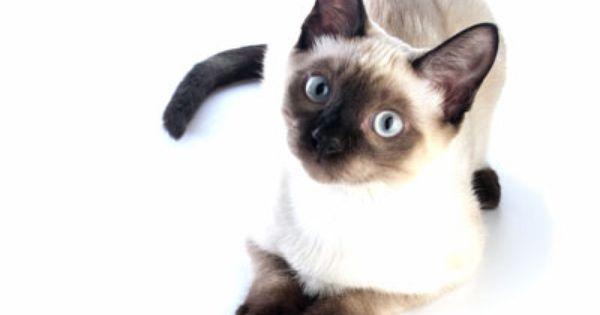 แมวว เช ยรมาศ ร ปส ตว น าร ก ผ หญ งร กแมว ล กแมว