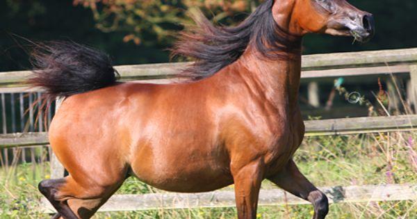 Arabhorse Com Al Mohamadia Stud Arabian Horse Horses Arabian Horse Arabians