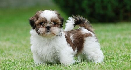 Shih Tzus Are Playful Friendly And Loyal To Their Owners Their Small Stature And Warm Expression Make This Shih Tzu Puppy Shitzu Puppies Hypoallergenic Dogs
