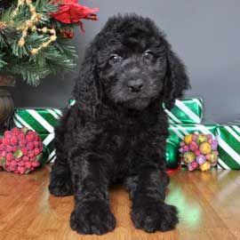 Golden Doodle Golden Retriever Poodle Justpuppies Net With