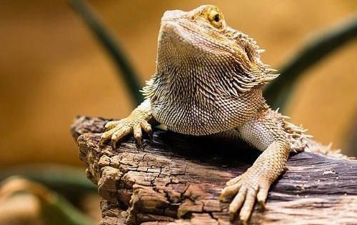 How To Clean Your Bearded Dragon S Tank Bearded Dragon Bearded Dragon Care Bearded Dragon Cute