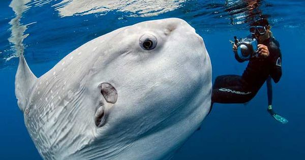 Photojournalist Daniel Botelho snapped this stunning shot of a mola mola (ocean
