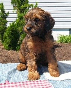 Whoodle Breed Profile Whoodle Puppy Dogs Designer Dogs