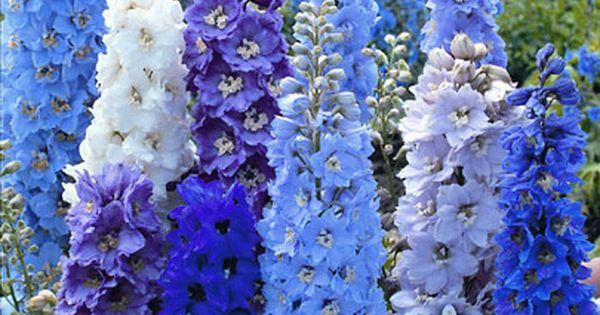 Love these colors! Delphinium Flowers; blue or lavender or periwinkle.