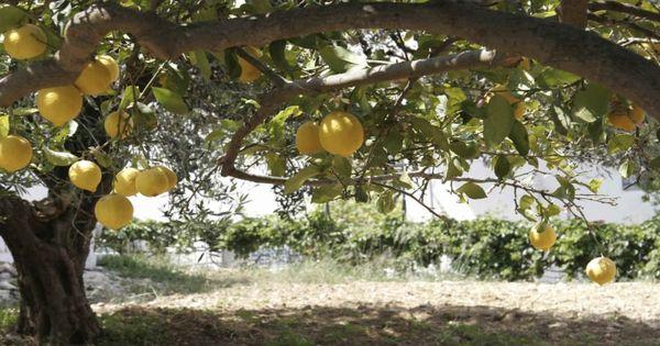 Tipos de rboles frutales para el jard n http www for Arboles de poca raiz para jardin