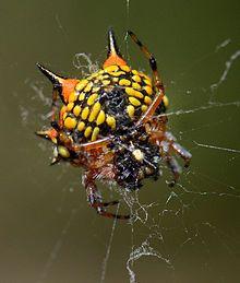 fb07198fb34d08ec4c575b0dbcb18110 - How To Get Rid Of Crab Spiders In Hawaii