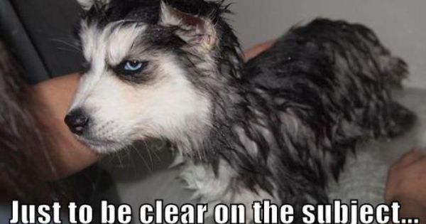 My Husky Hates Baths Too Grumpy Dog Dogs Funny Animals