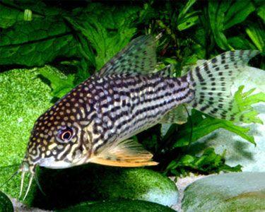 Sterba 39 S Cory Cat Info Sterba 39 S Cory Cat Aquarium Catfish Catfish Aquarium Fish