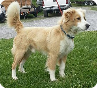 Cody Adopted Dog Tia Hagerstown Md Australian Shepherd Border Collie Mix Collie Mix Border Collie Mix Australian Shepherd