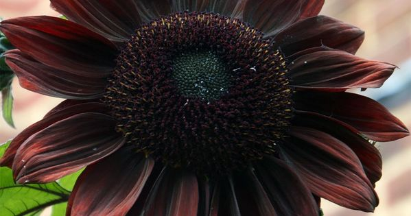 Rare Almost Black Chocolate Sunflower Helianthus Annuus 20 Seeds Red Sunflowers Sunflower Pictures Planting Flowers