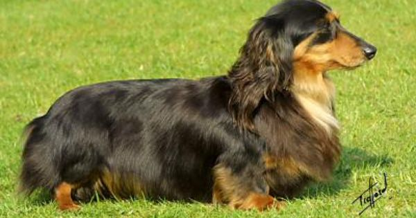 Chihuahua Daschund Long Hair Mix Google Search Long Haired