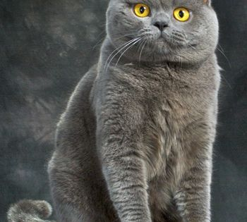 British Shorthair Cat Google Search British Shorthair Cats Cat Breeds British Blue Cat