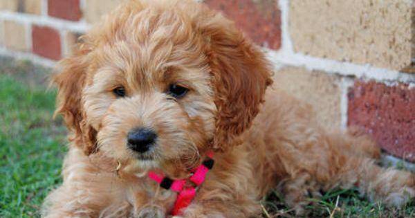 This Is Bonnie Poodle Mix Cockapoo Dog Poodle