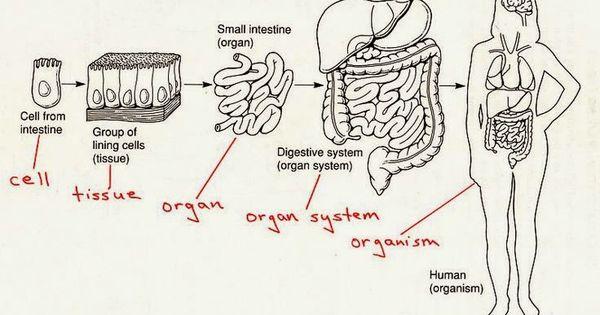 cells tissue organ organ system organism 5th science pinterest human body systems body. Black Bedroom Furniture Sets. Home Design Ideas