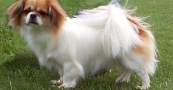 Tibetan Spaniel Dogzonline 画像あり