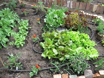 Soaker Hose Help My Texas Hydrangeas Lawn And Landscape Water Garden Vegetable Garden