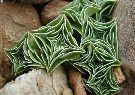 Starfish succulents (Succulants are perfection!) Cactus succulents nature