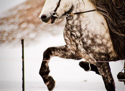 dapple grey Iceland horse tolting