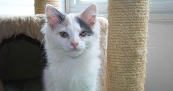 Adopt Meela Radgoll Mix Special Needs On Petfinder Long Haired Cats Adoption Cats