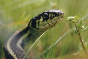 The Common Garter Snake Is Found From Coastal And Mountain Forests